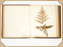 On page 12 of the book - Pteris scaberula, A. Rich